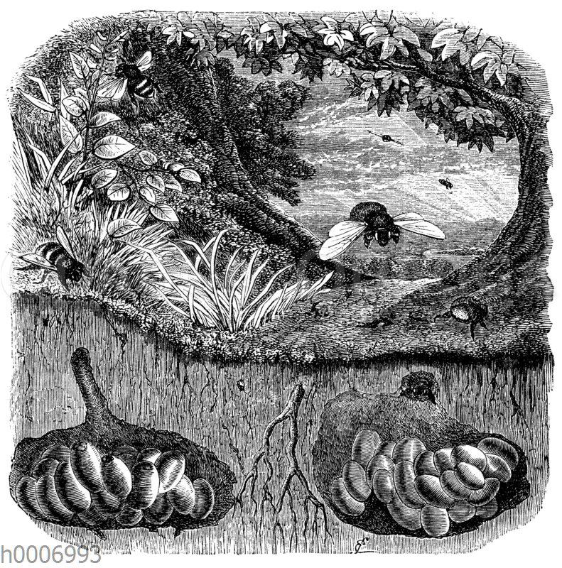 Erdhummel und Strichhummel (Steinhummel?): Nester