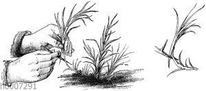 Nelken: Vermehrung durch Absenken