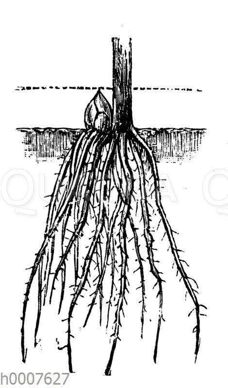Einjährige Spargelpflanze