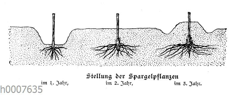 Stellung der Spargelpflanzen im ersten