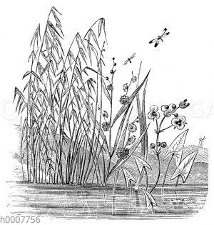 Teichrohr (Schilf)