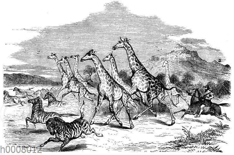 Giraffen und Zebras auf der Flucht vor dem Jäger