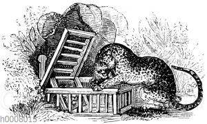 Pantherfalle