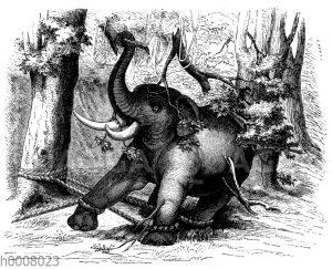 Gefangener asiatischer Elefant