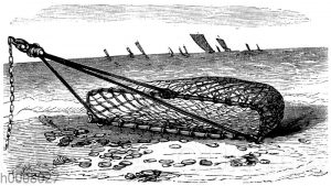 Anwendung des Scharnetzes zum Austernfang