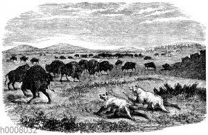Jagd der Indianer auf grasende Büffel in der Prärie