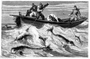 Jagd auf Narwale