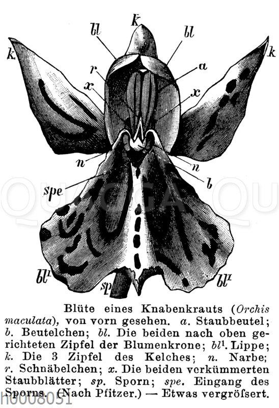 Knabenkraut: Blüte