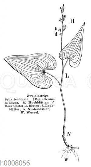Zweiblättrige Schattenblume