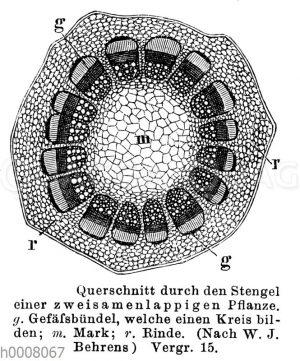 Stengelquerschnitt einer dicotyledonen Pflanze
