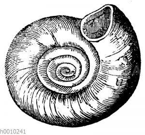 Planorbis euomphalus