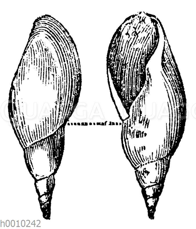 Lymnea longiscata