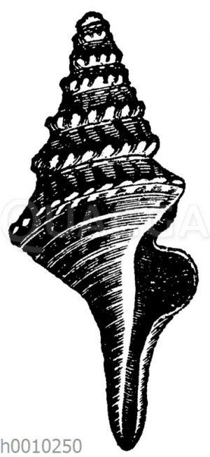Pleurotoma rotata