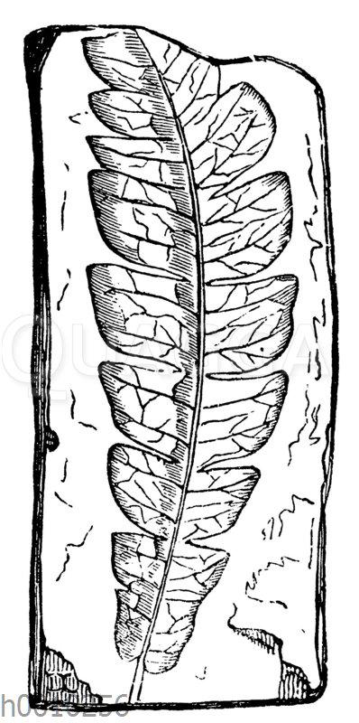 Comptonia acutiloba