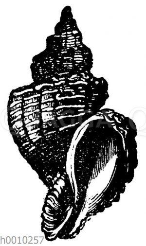 Murex alveolatus