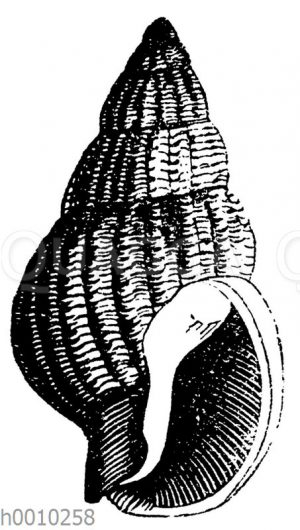Buccinum prismaticum