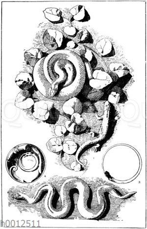 Schlangen: Naturabgüsse