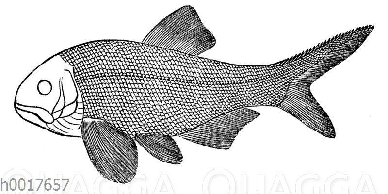 Amblypterus Nacrophalus