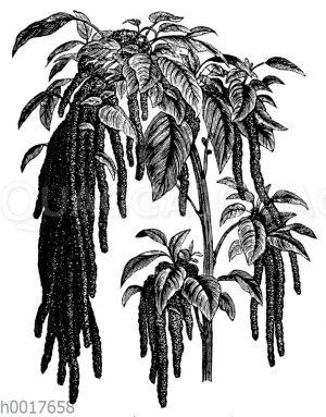Garten-Fuchsschwanz