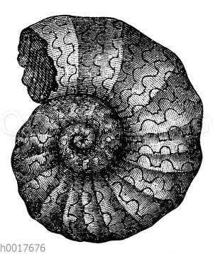 Ammonites Bucklandi
