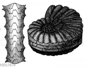 Ceratites nodosus