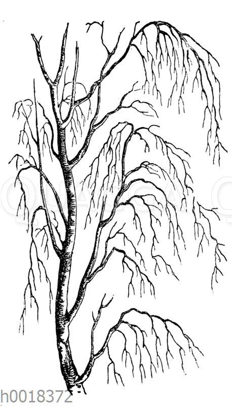 Astbau der Birke