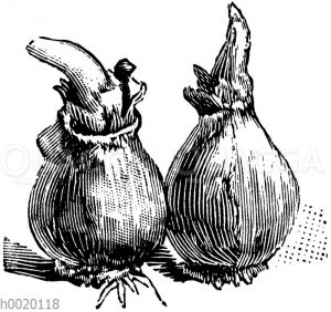 Zwiebeln des Schneeglöckchens