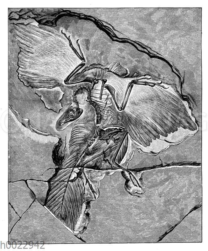 Archaeopterix aus dem Jura. Berliner Exemplar (nach Dames)