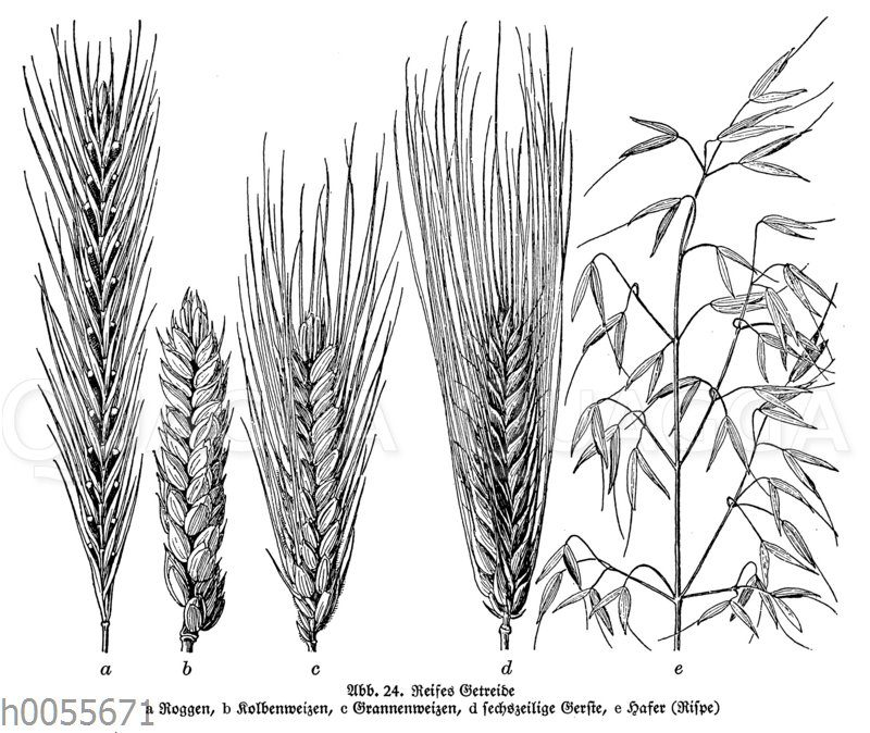 Reifes Getreide