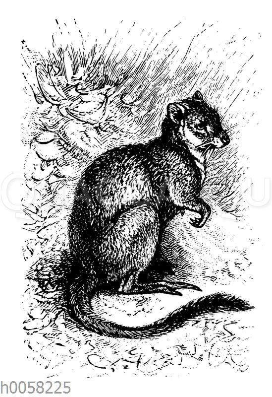 Opossumratte