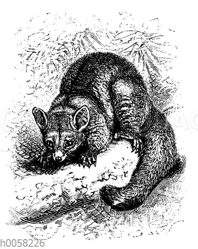 Fuchskusu