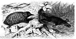 Ameisenigel und Schnabeltier