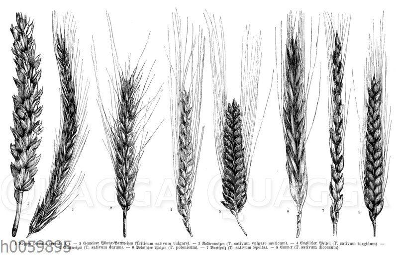 Getreidearten und Getreidesorten