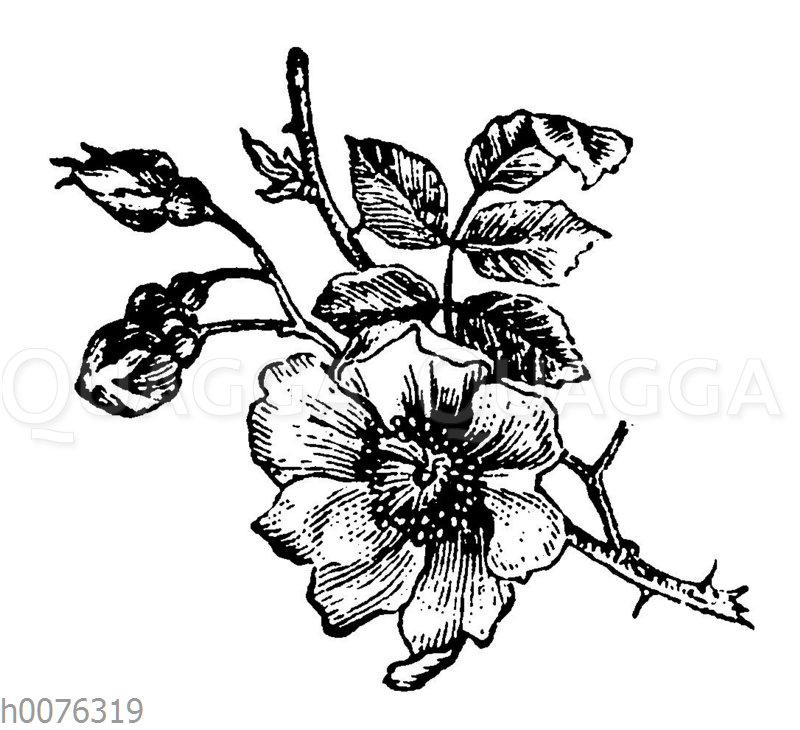 Vignette: Rose