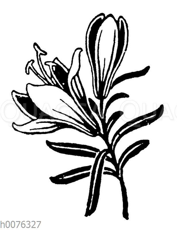 Vignette: Lilie