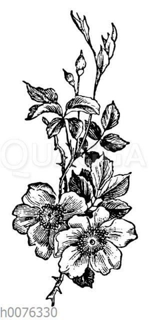 Vignette: Rosenblüten