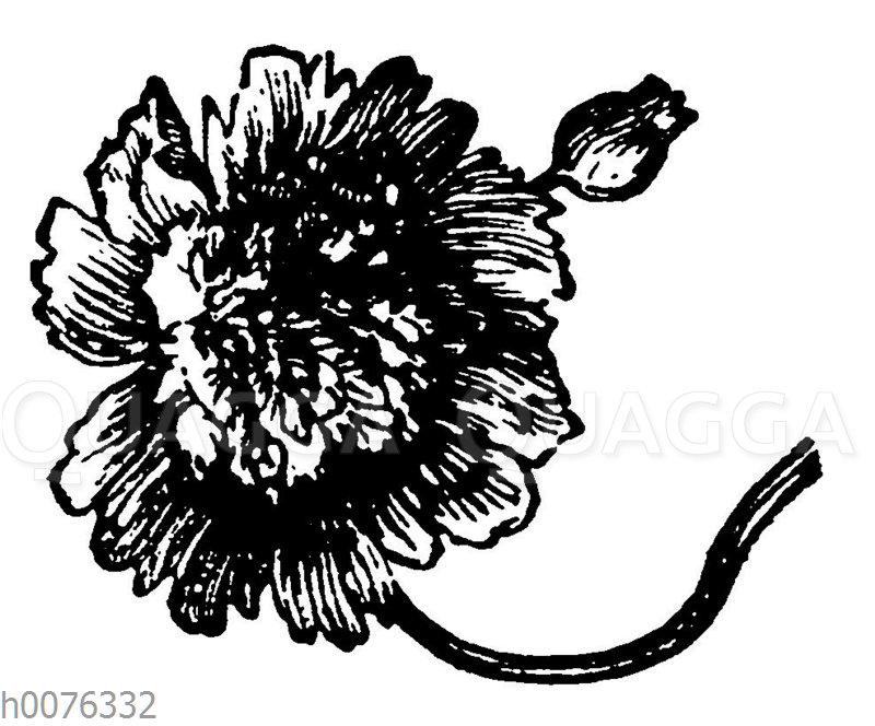 Vignette: Mohnblüte