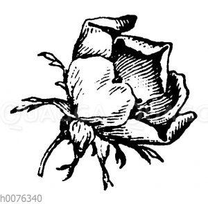 Vignette: Rosenblüte