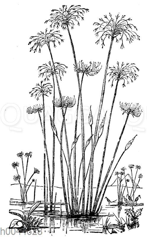 Papyrusstaude