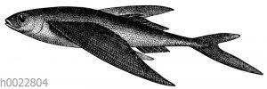 Schwalbenfisch