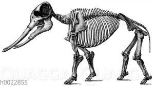 Mastodon angustiden