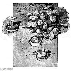 Absenken der Erdbeerausläufer in kleine Töpfe