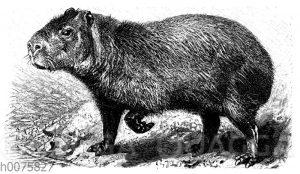 Capybara oder Wasserschwein