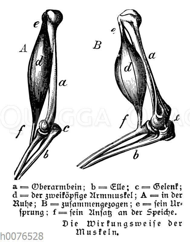 Armmuskeln des Menschen