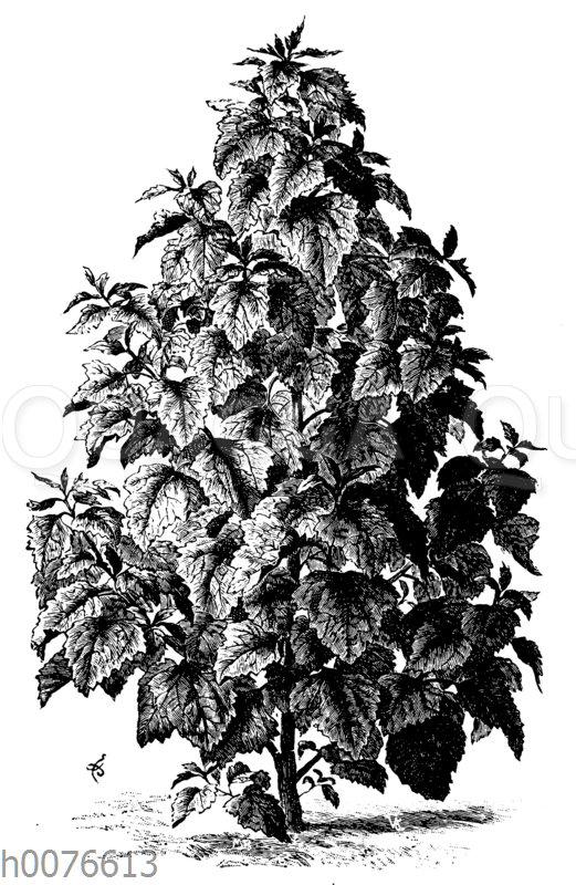 Baumspinat