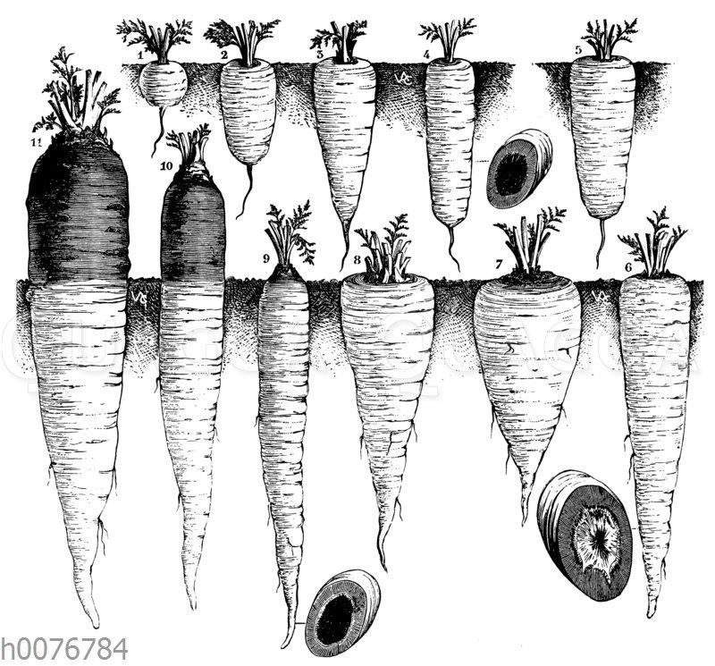Verschiedene Sorten von Karotten
