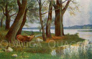Röhrender Hirsch am Waldsee