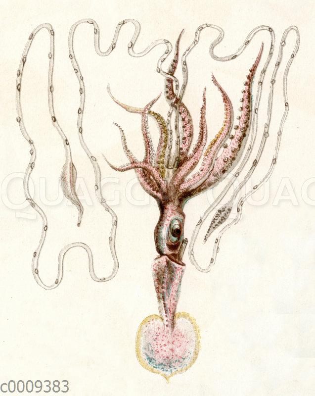 Tiefseetintenfisch