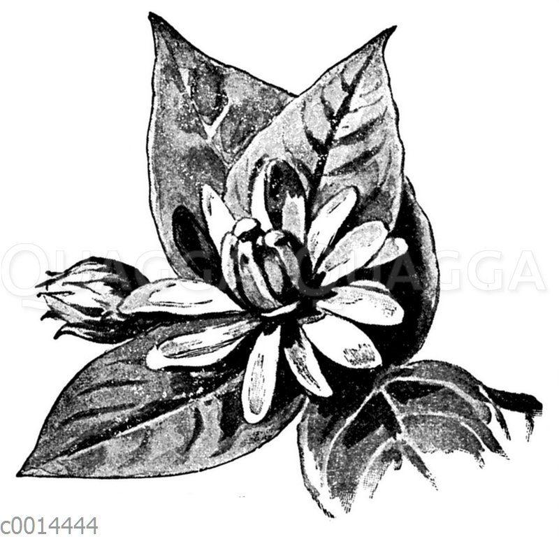 Blüte des Gewürzstrauchs
