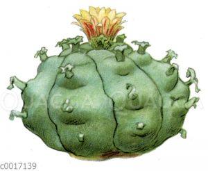 Peyotl-Kaktus